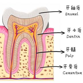 牙齿高清结构图片