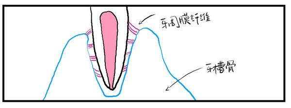 牙胚钟状期手绘图