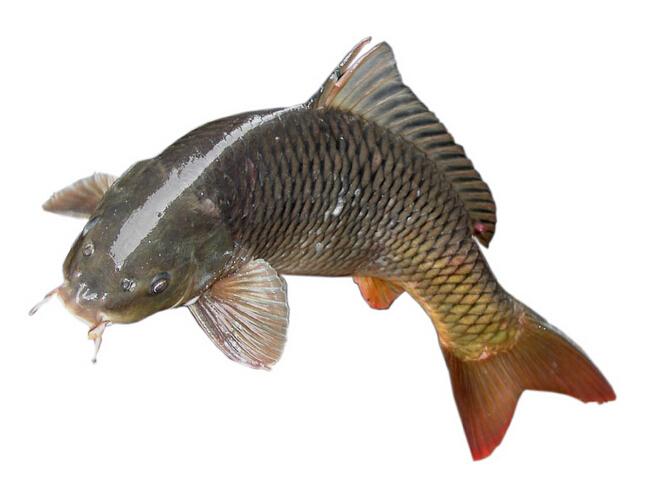 鱼的身体结构图
