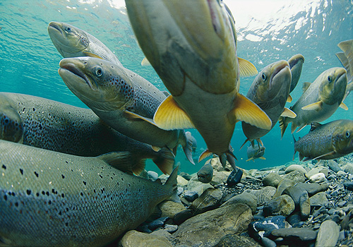 油鱼冒充大马哈鱼 吃完腹泻漏油