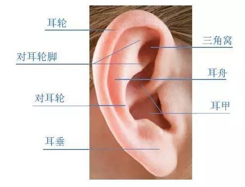 外耳廓结构示意图