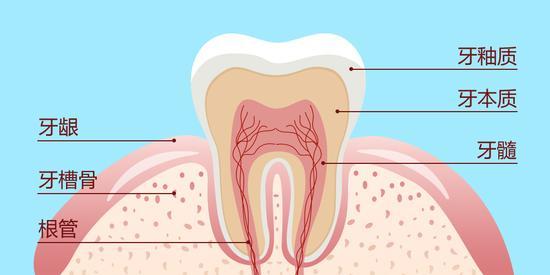 一颗健康的牙齿,每一个部分均结构完整,功能完好.